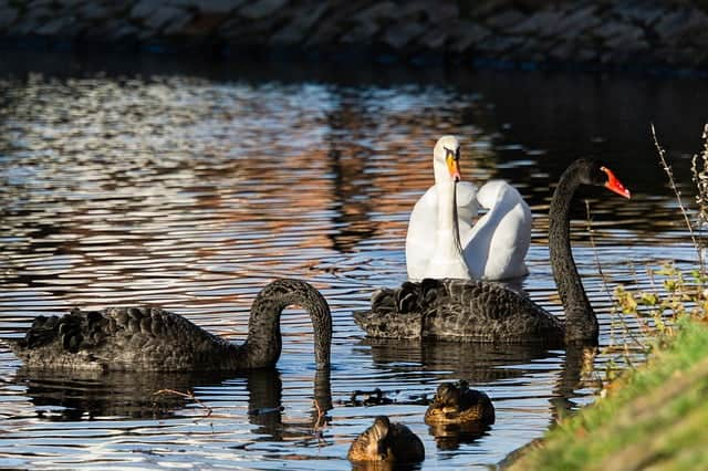 black-and-white-swans