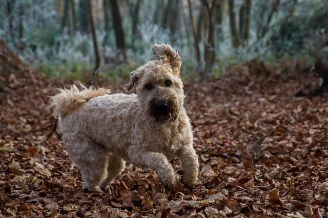 wheaten-terrier