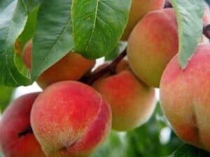 Georgia peaches on trees courtesy of Pixabay