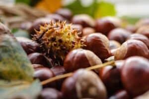 Ohio Buckeye tree nut courtesy of Pixabay 1812363 640