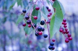 Wyoming huckleberry courtesy of pixabay